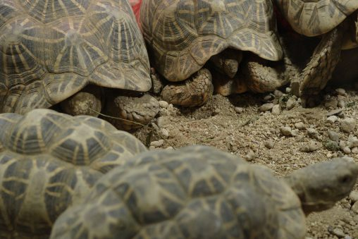 円陣 – Indian star tortoise