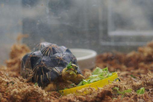 ホウシャガメの子供 – Baby Radiated tortoise
