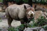 クロサイ食事中 – Black rhinoceros