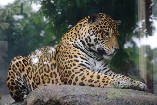 ジャガー – Jaguar