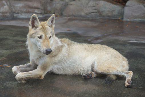 手首 – Chinese wolf