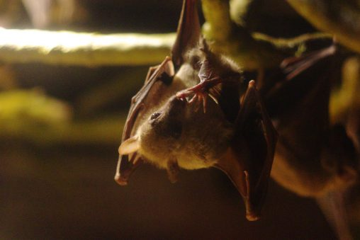エジプトルーセットオオコウモリ – Egyptian rousette