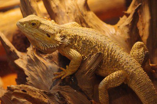 フトアゴヒゲトカゲ – Central bearded dragon