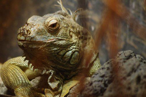 眼力の強いグリーンイグアナ – Green iguana