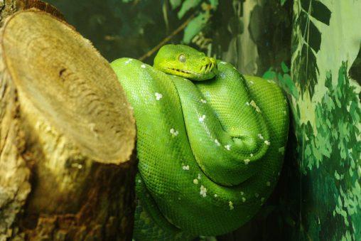 ミドリニシキヘビ – Green tree python