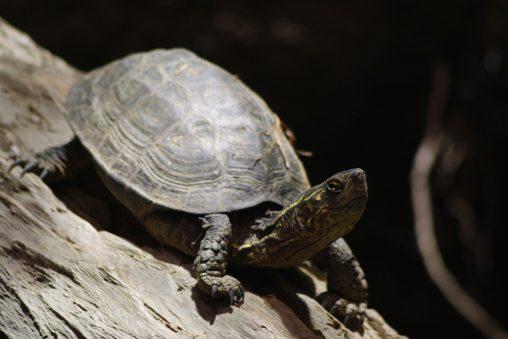 首をもたげるクサガメ – Reeve's pond turtle