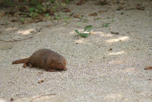 のびてるコビトマングース – Common dwarf mongoose