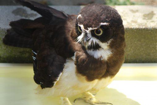 メガネフクロウ – Spectacled owl