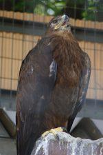 ソウゲンワシ – Steppe eagle