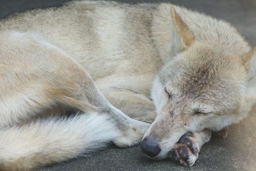 チュウゴクオオカミの腕枕 – Chinese wolf