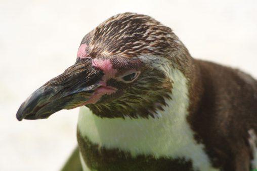 フンボルトペンギン(キメ顔) – Humboldt penguin