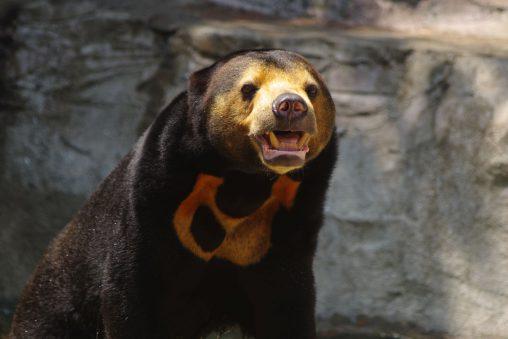 暑すぎマレーグマ – Sun bears