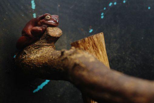 イエアメガエル – White's tree frog