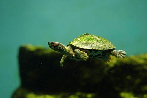 インドセタカガメ – Indian roofed turtle