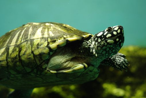ハミルトンガメ – Black pond turtle