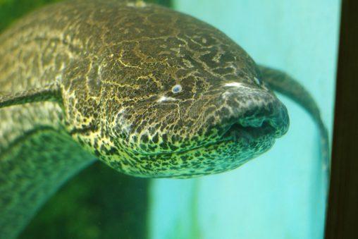 スペックルベリードラングフィッシュ – Speckle-bellied lungfish