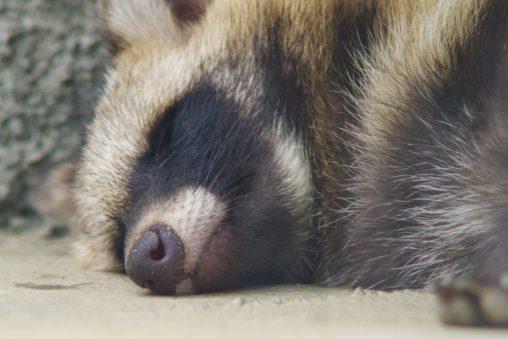 寝てるホンドタヌキ – Japanese Raccoon Dog