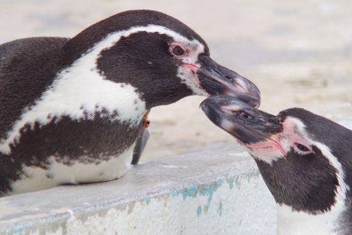仲良しフンボルトペンギン – Humboldt penguins