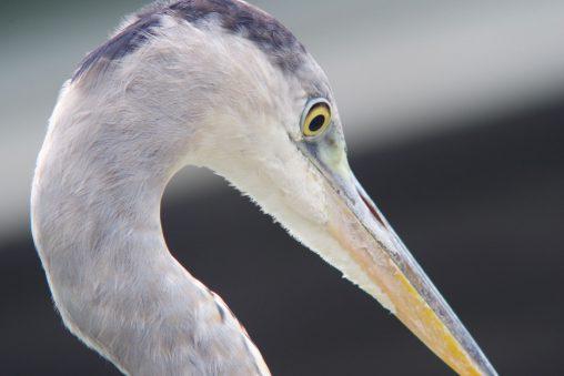 アオサギ(野鳥) – Wild grey heron