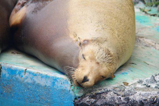 カリフォルニアアシカ(寝顔) – California sea lion