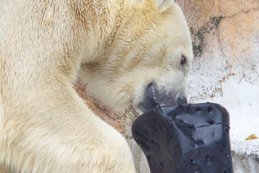 遊ぶホッキョクグマ – Polar bear
