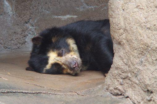おつかれメガネグマ – Spectacled bear