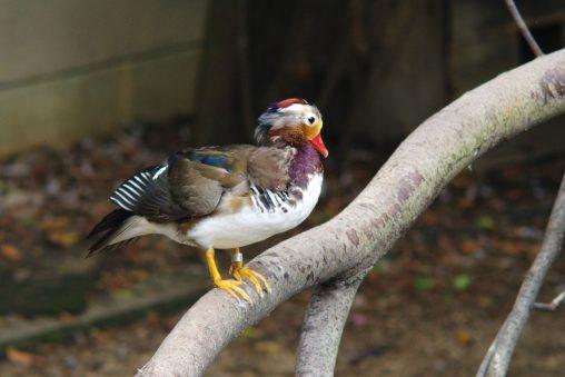 オシドリ – Mandarin duck