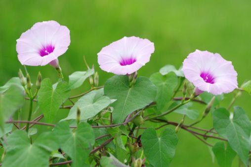 マルバアサガオ – Morning glory