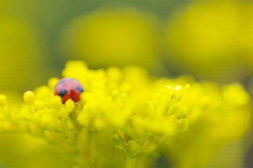 ナナホシテントウ – Ladybug