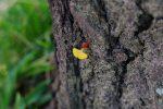 胴吹き銀杏 – Epicornic ginkgo leaf