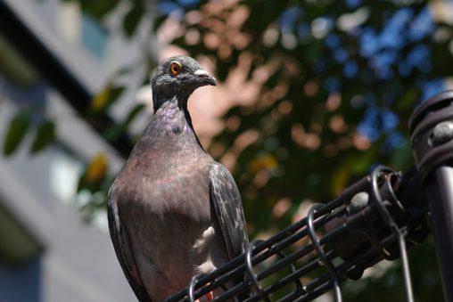 鳩 – Pigeon