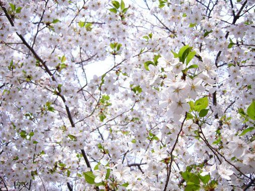 満開 – Sakura