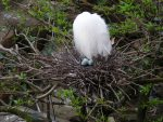 卵を守るコサギ – Little egret with eggs