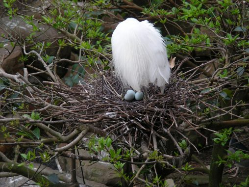 卵を守るコサギ – Little egret with eggs