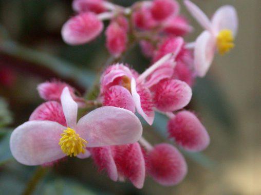 シュウカイドウ – Hardy begonia