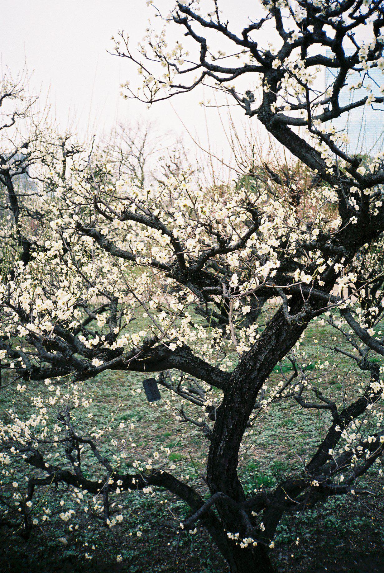 梅 – Plum tree