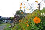集落のキバナコスモス – Sulfur cosmos at Japanese village