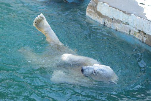 くまシンクロ – Synchronized swimming