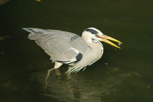 食べるアオサギ – Grey heron