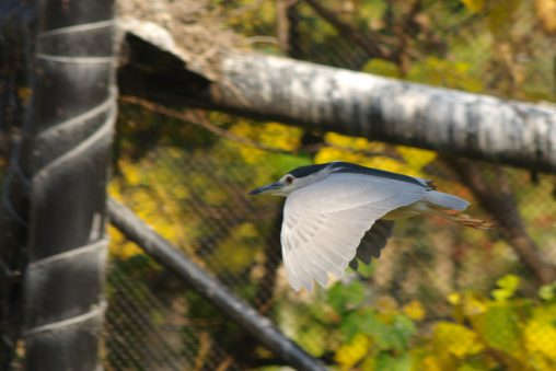 飛ぶゴイサギ – Flying Night heron