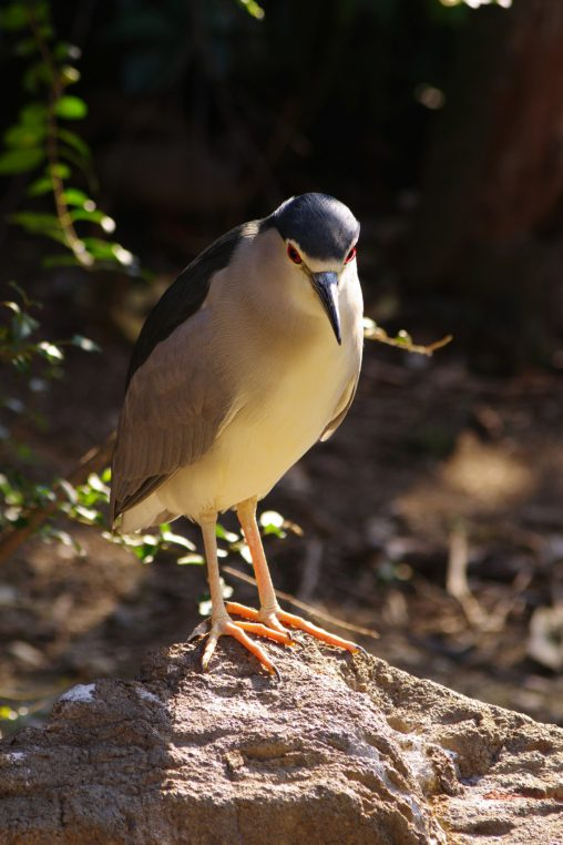 佇むゴイサギ – Standing Night heron