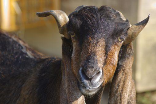 黒山羊 – Black goat