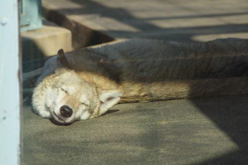 チュウゴクオオカミ(犬) – Dog like Wolf
