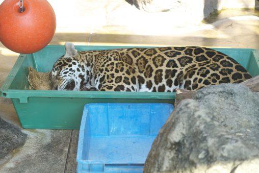 箱入りジャガー – Jaguar in a box
