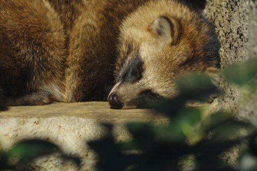 ホンドタヌキ – Racoon dog