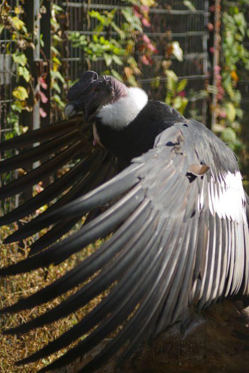 コンドル – Andean Condor