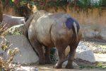 さいけつ – Rhino hip
