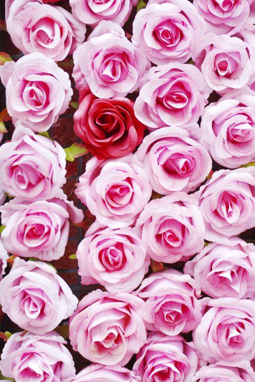 敷き詰められたバラ – Roses
