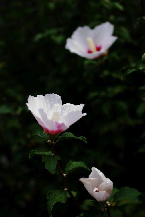 ムクゲ三姉妹 – Rose of Sharons