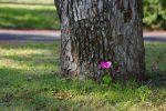 ムラサキカタバミひとり立ち – Violet wood-sorrel